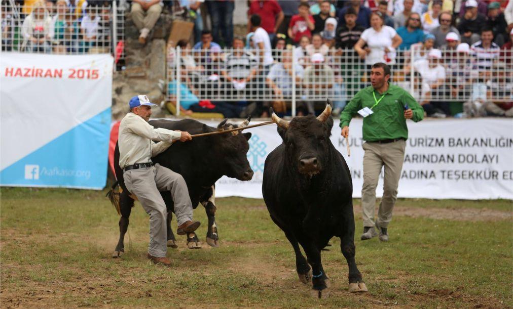 Бои быков в Артвине http://travelcalendar.ru/wp-content/uploads/2015/06/Boi-bykov-v-Artvine_glav1.jpg