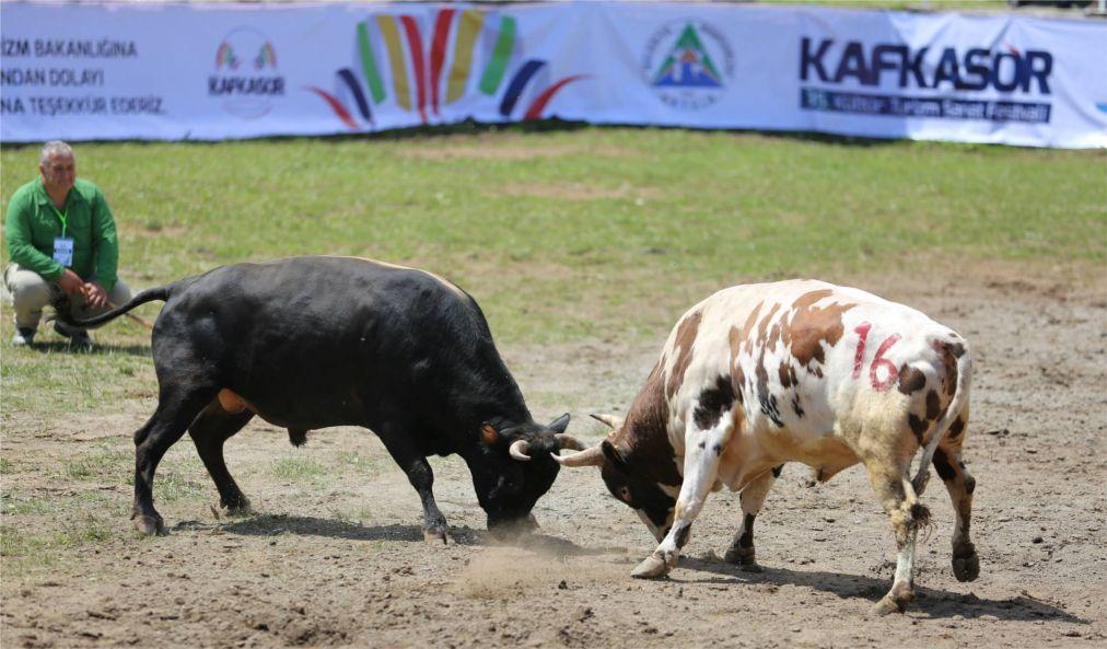 Бои быков в Артвине http://travelcalendar.ru/wp-content/uploads/2015/06/Boi-bykov-v-Artvine_glav3.jpg
