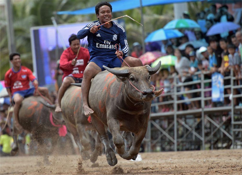 Гонки буйволов в Чонбури http://travelcalendar.ru/wp-content/uploads/2015/09/Gonki-bujvolov-v-CHonburi-_glav2.jpg
