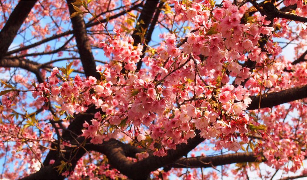 Фестиваль цветения сакуры в Токио http://travelcalendar.ru/wp-content/uploads/2015/11/Festival-tsveteniya-sakury-v-Tokio_glav4.jpg