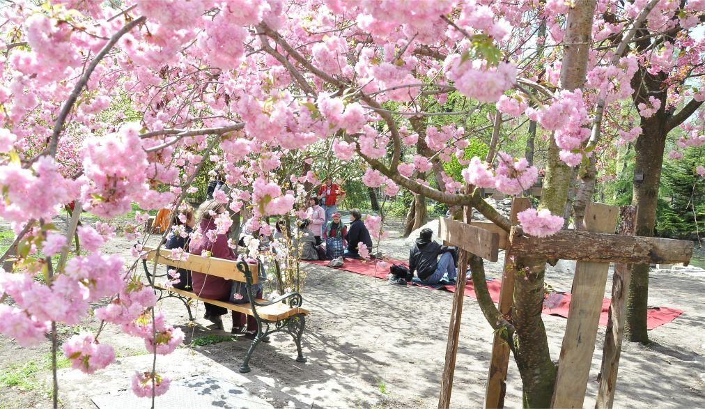 Фестиваль цветения сакуры в Будапеште http://travelcalendar.ru/wp-content/uploads/2016/03/Festival-tsveteniya-sakury-v-Budapeshte_glav2.jpg