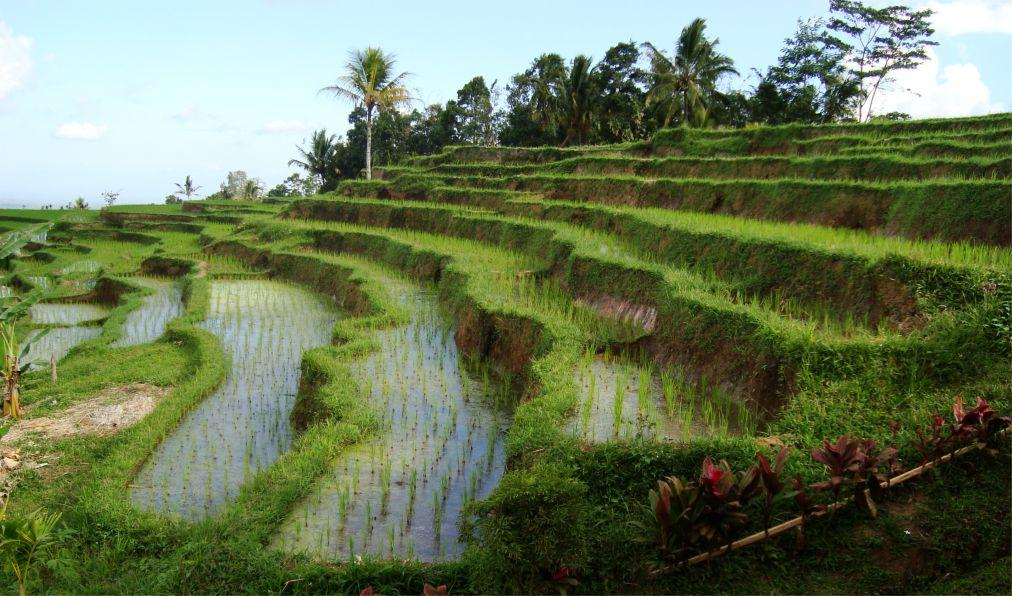 Праздник жатвы риса на Бали 22cd00f8c218a729a707e6658e91699b.jpg