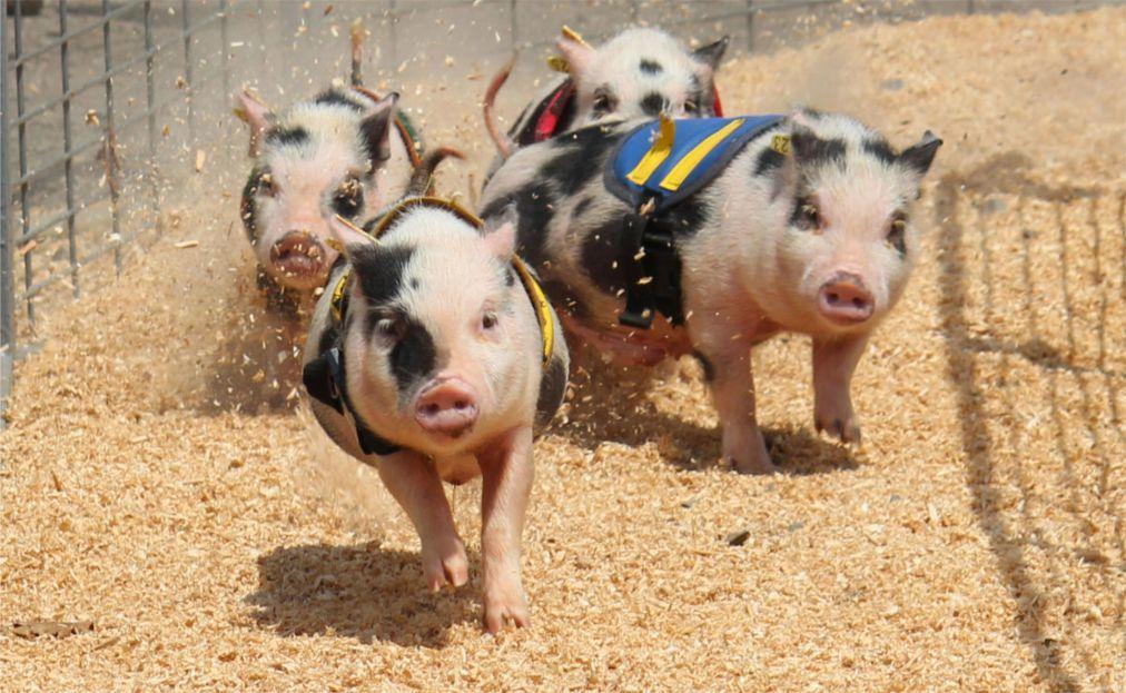 Гонки свиней в Ми Кхане 7a077572f0ed5bd358f547c1b44ade55.jpg