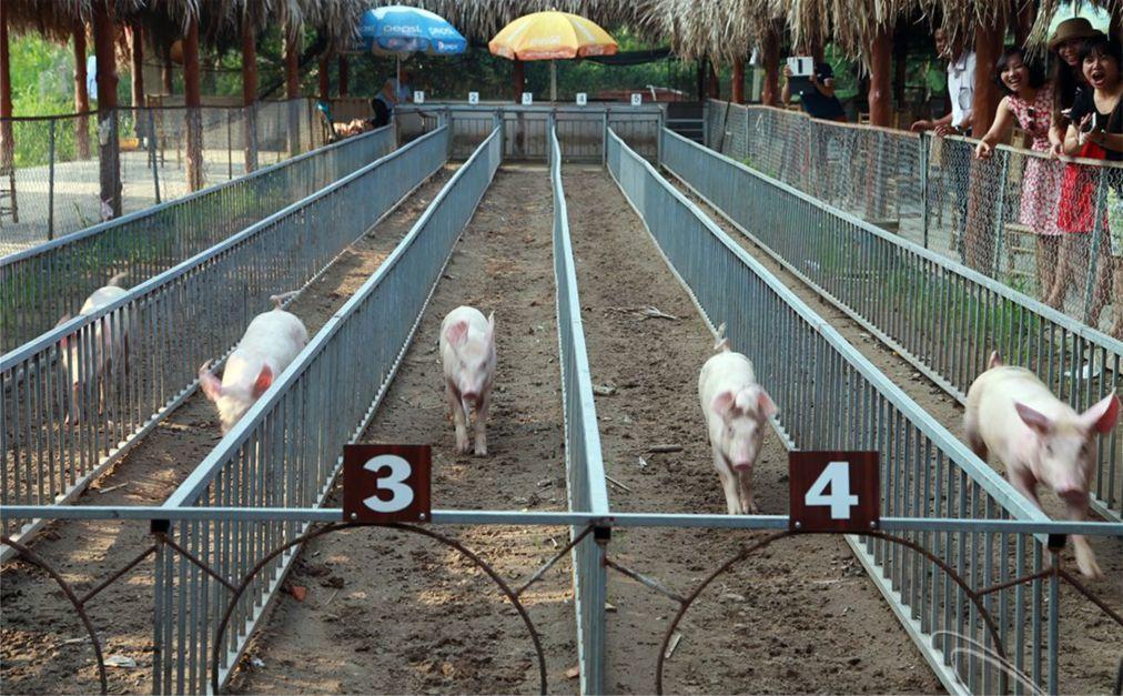 Гонки свиней в Ми Кхане c42f8a60d616ee325c2fcbce904d0714.jpg