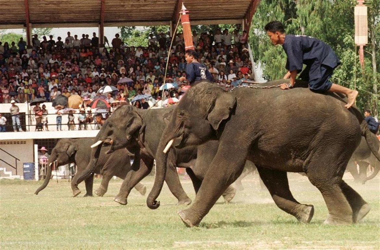 Фестиваль слонов в Сурине e7b462b6182a414189cb97a1d7d900cb.jpg
