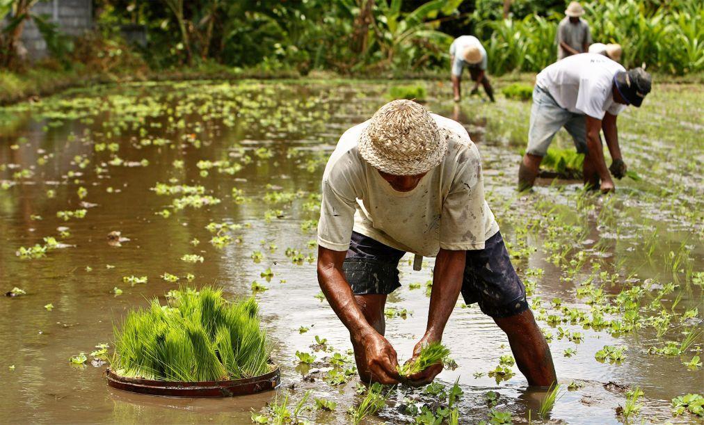 Праздник жатвы риса на Бали 0e46b07c7730ada14b53c9ea9e2eedba.jpg