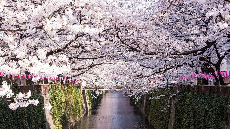 Фестиваль цветения сакуры в Токио 524c47e991516ec37211815a63a082aa.jpg