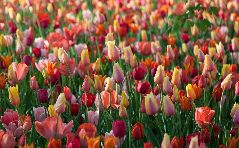 Фестиваль тюльпанов в Турине b70307d74aa57391145905a63cfd548c.jpg