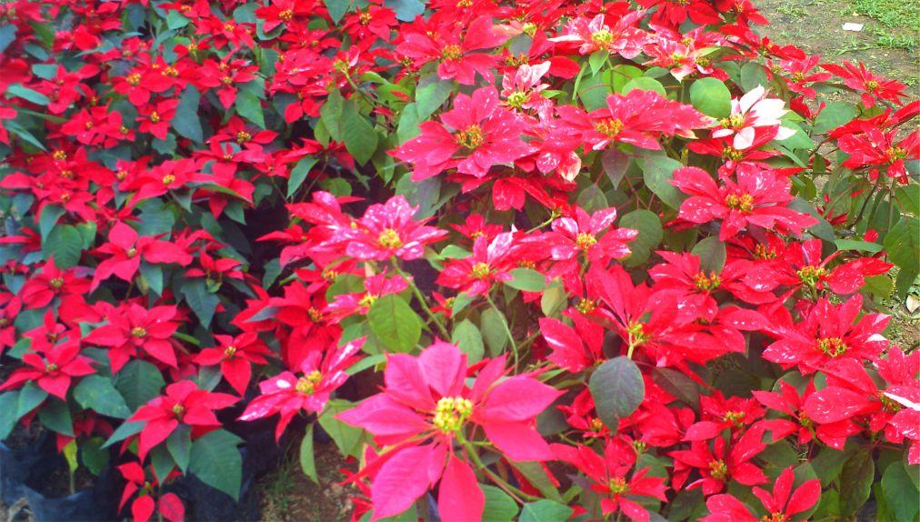 Фестиваль «Рождественских звезд» в Пху Рыа da98892252b6f9081d5a540a86154fd6.jpg